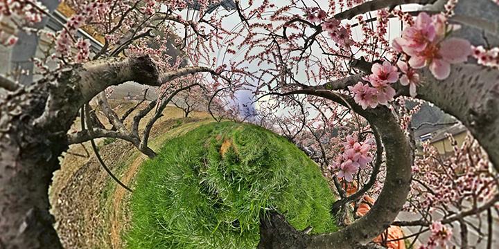〈Blossom〉, C-Print, 100X200cm, 2016 (4월16일 충북 음성 감곡면)